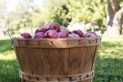 在一个木篮子的红色有机苹果在一个晴天 库存照片