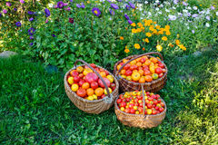 在一个木篮子的蕃茄在草 库存照片