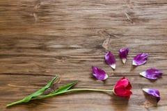 在一个木背景概念的郁金香 免版税库存图片