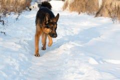 在一个村庄尾随德国牧羊犬在一个冬天 库存照片