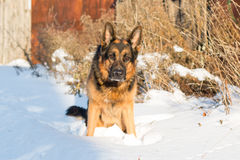 在一个村庄尾随德国牧羊犬在一个冬天 免版税库存图片