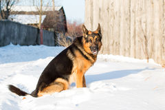 在一个村庄尾随德国牧羊犬在一个冬天 库存图片