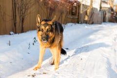 在一个村庄尾随德国牧羊犬在一个冬天 图库摄影