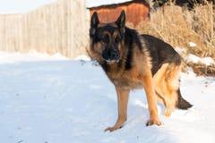 在一个村庄尾随德国牧羊犬在一个冬天 免版税图库摄影