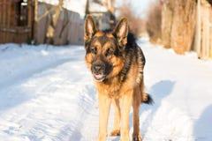 在一个村庄尾随德国牧羊犬在一个冬天 免版税库存照片