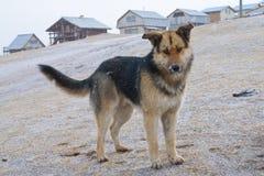 在一个村庄尾随德国牧羊犬在一冬天雪天 库存照片