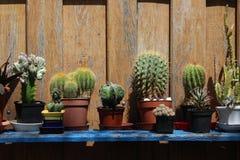 在一个架子的仙人掌在庭院里 免版税库存图片