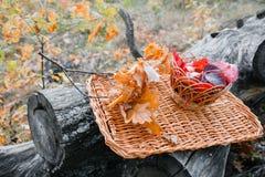 在一个柳条盘子的水多的苹果,围拢由下落的秋叶 与干燥说谎的美好的分支  五 免版税库存照片