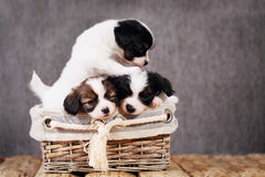 在一个柳条筐的三只小狗 免版税库存照片