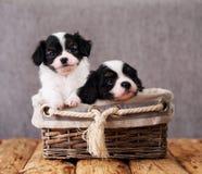 在一个柳条筐的两只小狗 图库摄影