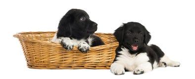 在一个柳条筐的两只Stabyhoun小狗 库存图片