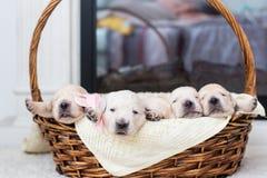 在一个柳条筐的五只可爱的金毛猎犬小狗 免版税库存图片