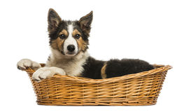 在一个柳条筐的博德牧羊犬的侧视图,被隔绝 免版税库存图片