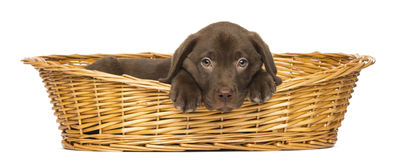 在一个柳条筐的哀伤的拉布拉多猎犬小狗 免版税库存图片