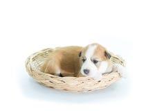 在一个柳条筐的小狗 图库摄影