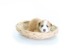 在一个柳条筐的小狗 免版税库存照片