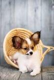 在一个柳条筐的小狗 库存照片