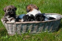 在一个柳条筐的小的小狗 免版税库存图片