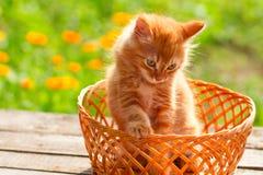 在一个柳条筐的小的红色猫在户外绿色背景 免版税库存图片