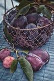 在一个柳条筐的成熟和水多的蓝色李子在一个土气样式 愉快的感恩 复制空间 免版税库存照片