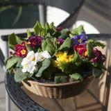在一个柳条筐的白色,黄色,红色,蓝色和紫色报春花作为入口的装饰对房子的 免版税库存图片