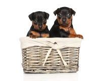 在一个柳条筐的短毛猎犬小狗 库存图片