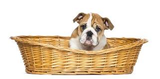 在一个柳条筐的英国牛头犬小狗, 2个月 库存图片