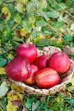 在一个柳条筐的苹果在叶子中 库存照片