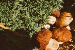 在一个柳条筐的蘑菇 森林礼物 采蘑菇porcini 采蘑菇白色 库存照片