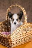 在一个柳条筐的Pupilion小狗 免版税库存图片
