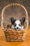 在一个柳条筐的Pupilion小狗 库存照片