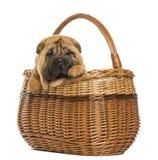在一个柳条筐的Sharpei小狗, 11个星期年纪 图库摄影