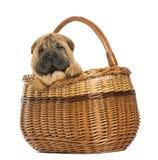 在一个柳条筐的Sharpei小狗, 11个星期年纪 库存图片