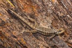 在一个树干的模仿的蜥蜴在巴西 库存照片