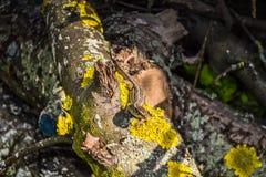 在一个树干的蜥蜴与地衣 免版税库存图片
