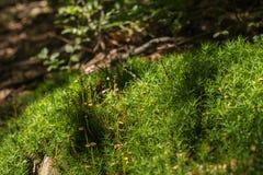 在一个树干的青苔在森林里 免版税库存照片