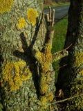 在一个树干的黄色地衣与剪影 免版税库存照片