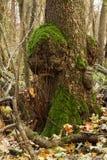 在一个树干的绿色青苔在森林里 库存照片