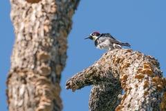 在一个树枝栖息的橡子啄木鸟在特廖内Annadel国家公园在圣罗莎,加利福尼亚-在一个晴朗的春日 库存照片