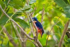 在一个树枝的一只天蓝色的翠鸟鸟在Corroboree Billabong, NT,澳大利亚 免版税库存照片