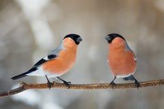 在一个树枝的两个男性红腹灰雀在公园 免版税库存照片