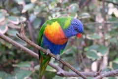 在一个树枝的孤独的彩虹长尾小鹦鹉在囚禁 库存图片