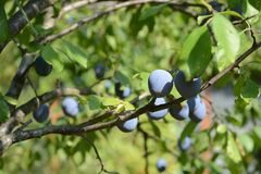 在一个树枝的成熟李子在庭院里 免版税库存照片