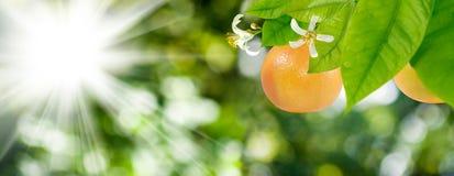 在一个树枝的成熟桔子在绿色背景的庭院里 库存照片