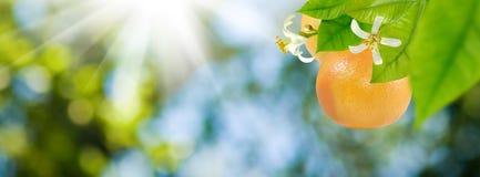 在一个树枝的成熟桔子在绿色背景的庭院里 免版税库存图片