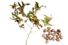 在一个树枝的胡桃与叶子 库存图片
