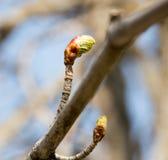 在一个树枝的芽本质上 免版税库存照片