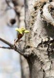 在一个树枝的芽本质上 免版税图库摄影