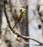 在一个树枝的芽本质上 库存照片