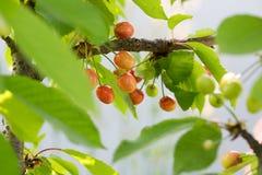 在一个树枝的莓果樱桃在庭院里 未成熟的cherri 库存照片